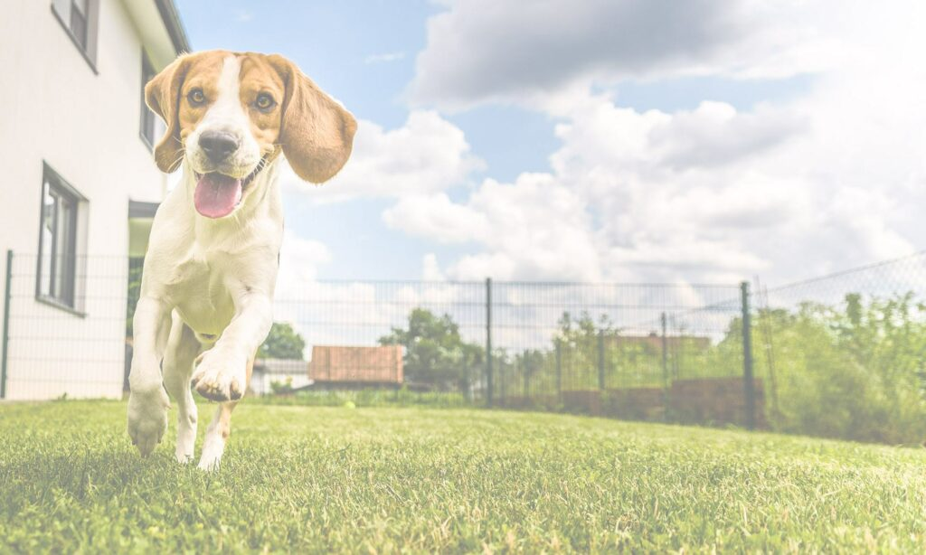 beagle-dog-running-2000x1200-50pc-op
